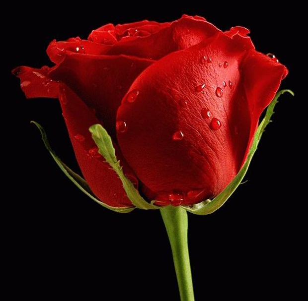 red-rose-flower- (7)