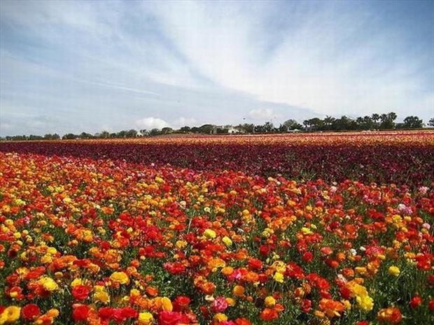 field-of-flowers- (34)