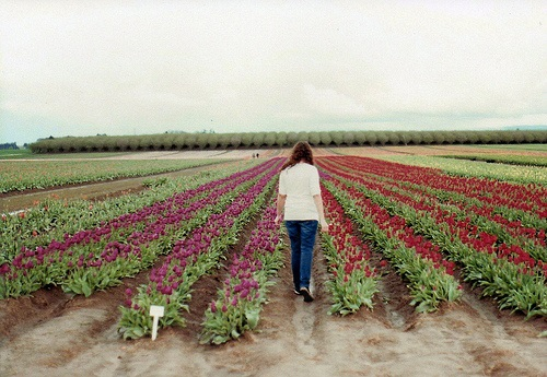 colorful-tulip- (15)