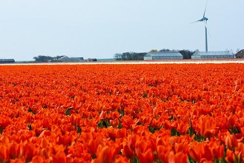 colorful-tulip- (17)
