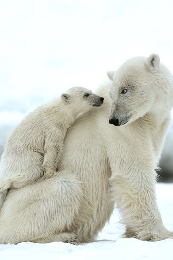 polar-bear-pictures- (13)
