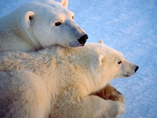 polar-bear-pictures- (25)