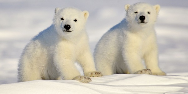 polar-bear-pictures- (6)