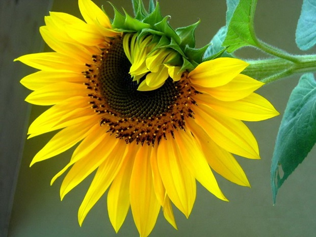 sunflower-photos- (11)
