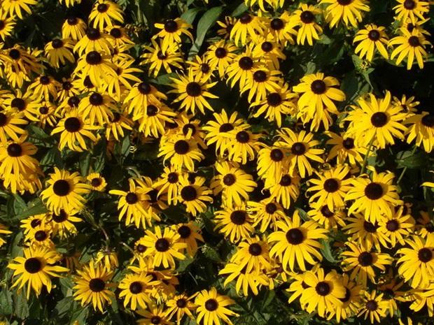 sunflower-photos- (14)