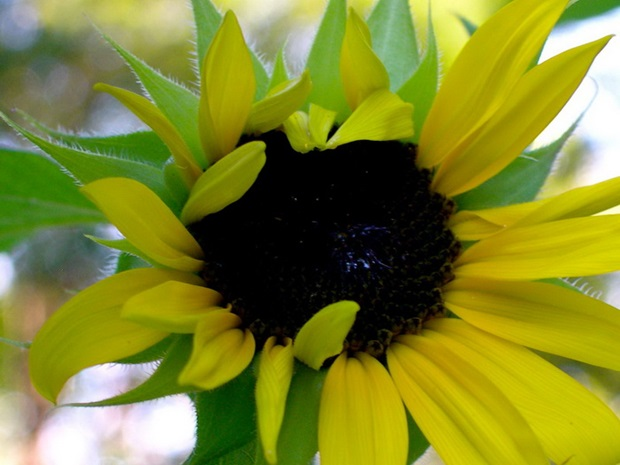 sunflower-photos- (17)