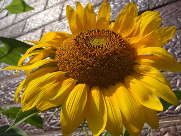 sunflower-photos- (20)