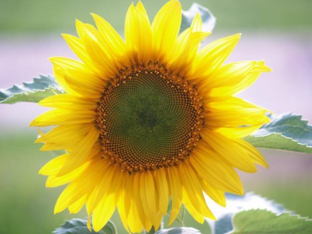 sunflower-photos- (3)