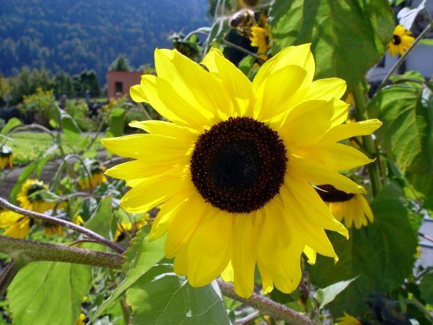 sunflower-photos- (4)