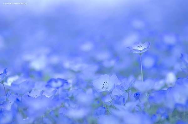baby-blue-eyes-nemophila-hitachi-seaside-park- (10)