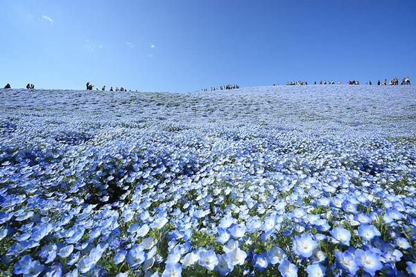 baby-blue-eyes-nemophila-hitachi-seaside-park- (12)