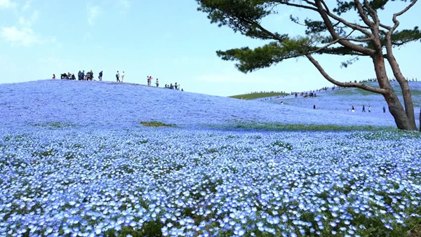 baby-blue-eyes-nemophila-hitachi-seaside-park- (6)