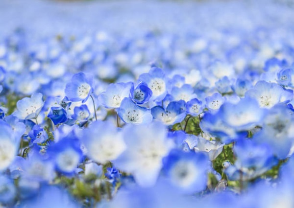 baby-blue-eyes-nemophila-hitachi-seaside-park- (7)