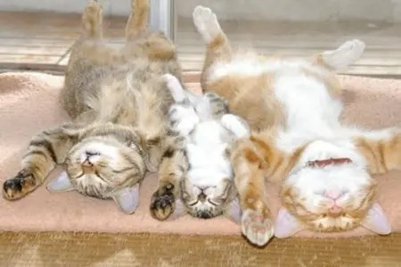 Three cats sleeping in a row