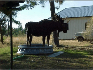 Hot moose stands in pool