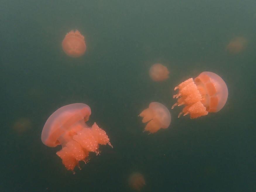 帛琉水母湖