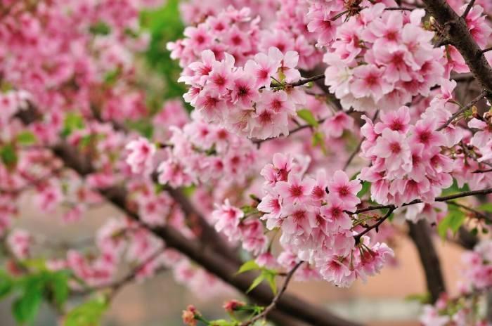 【櫻花季】