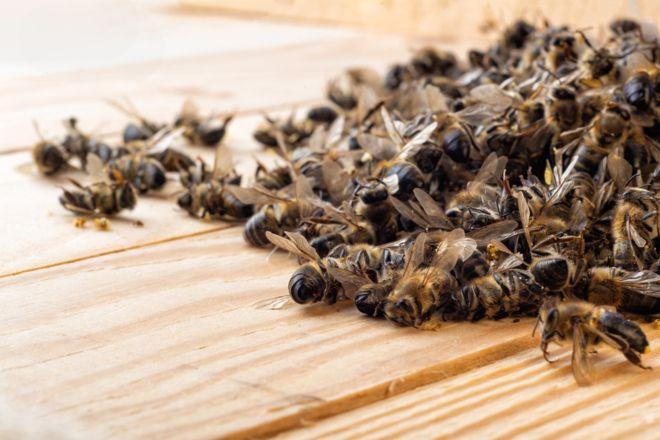 O Agrotóxico Que Matou 50 Milhões De Abelhas Em Santa Catarina Em Um Só Mês