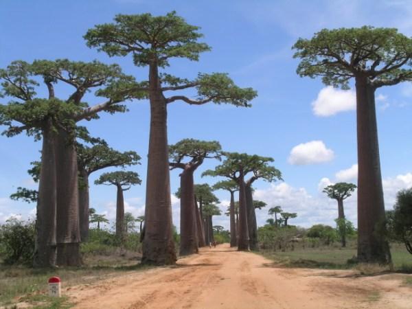 Viale Baobab a Morondava
