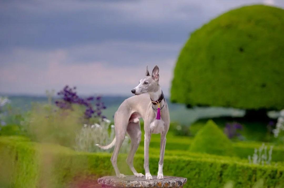 Whippet in a landscape garden