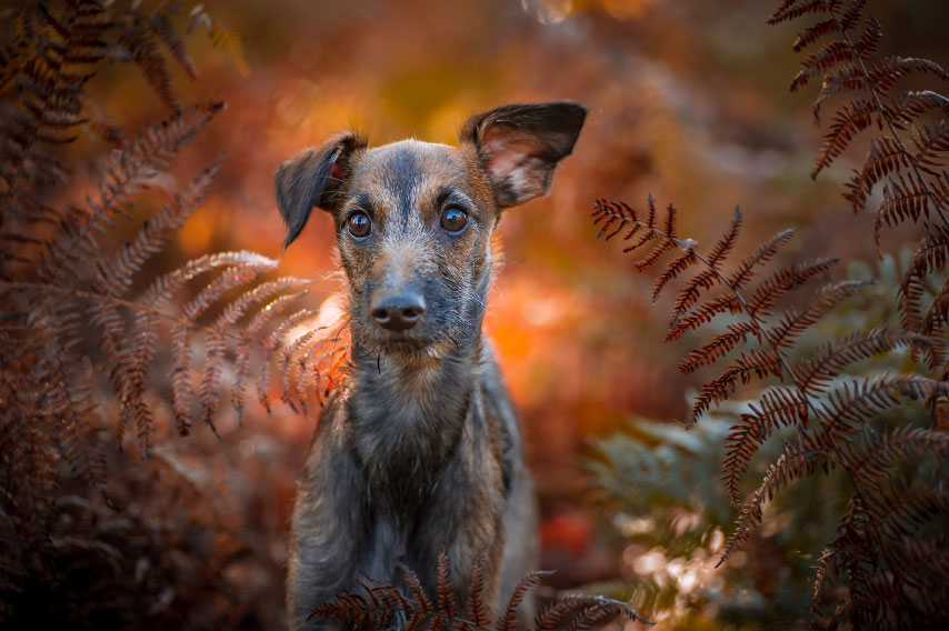 Image of a lurcher puppy in golden autumn ferns