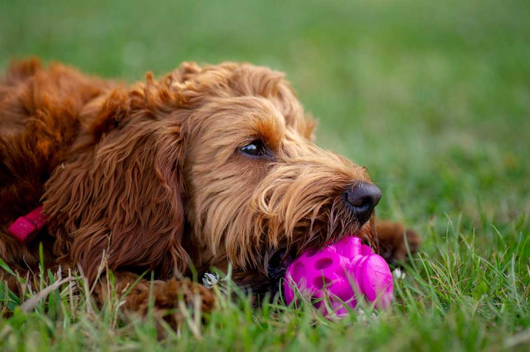 Cockerpoo playing with a pink ball shaped interactive toy.