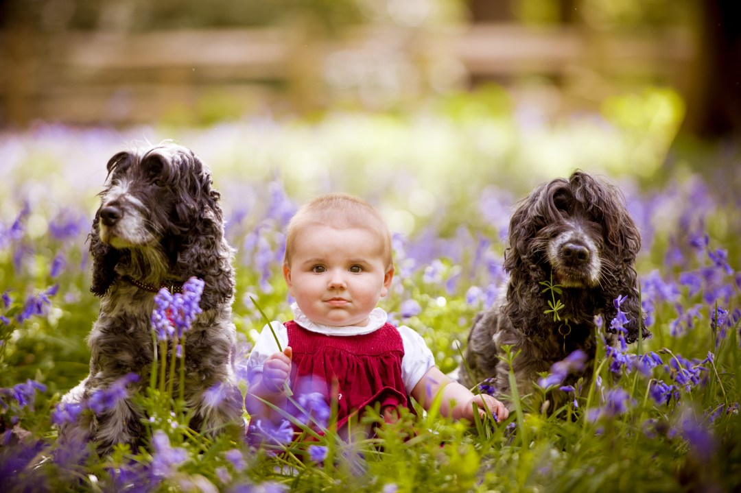 Photograph of a baby in the bluebells with two spaniels