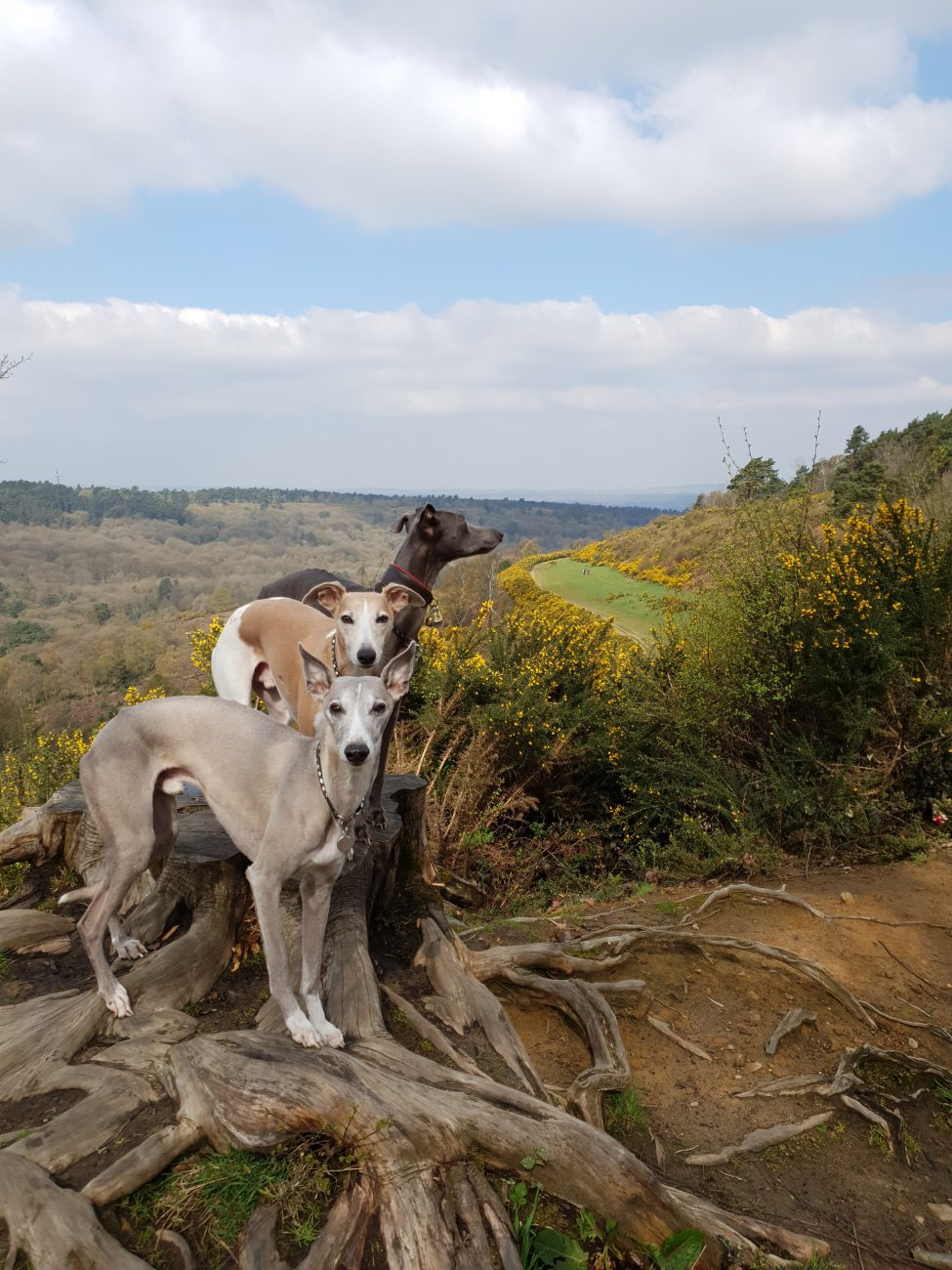 Three whippets on a tree stump. An example of how the wait command can help you take better photographs of your dog.