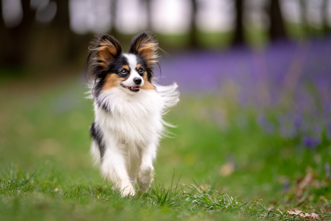 Papillon walking next to a bluebell field