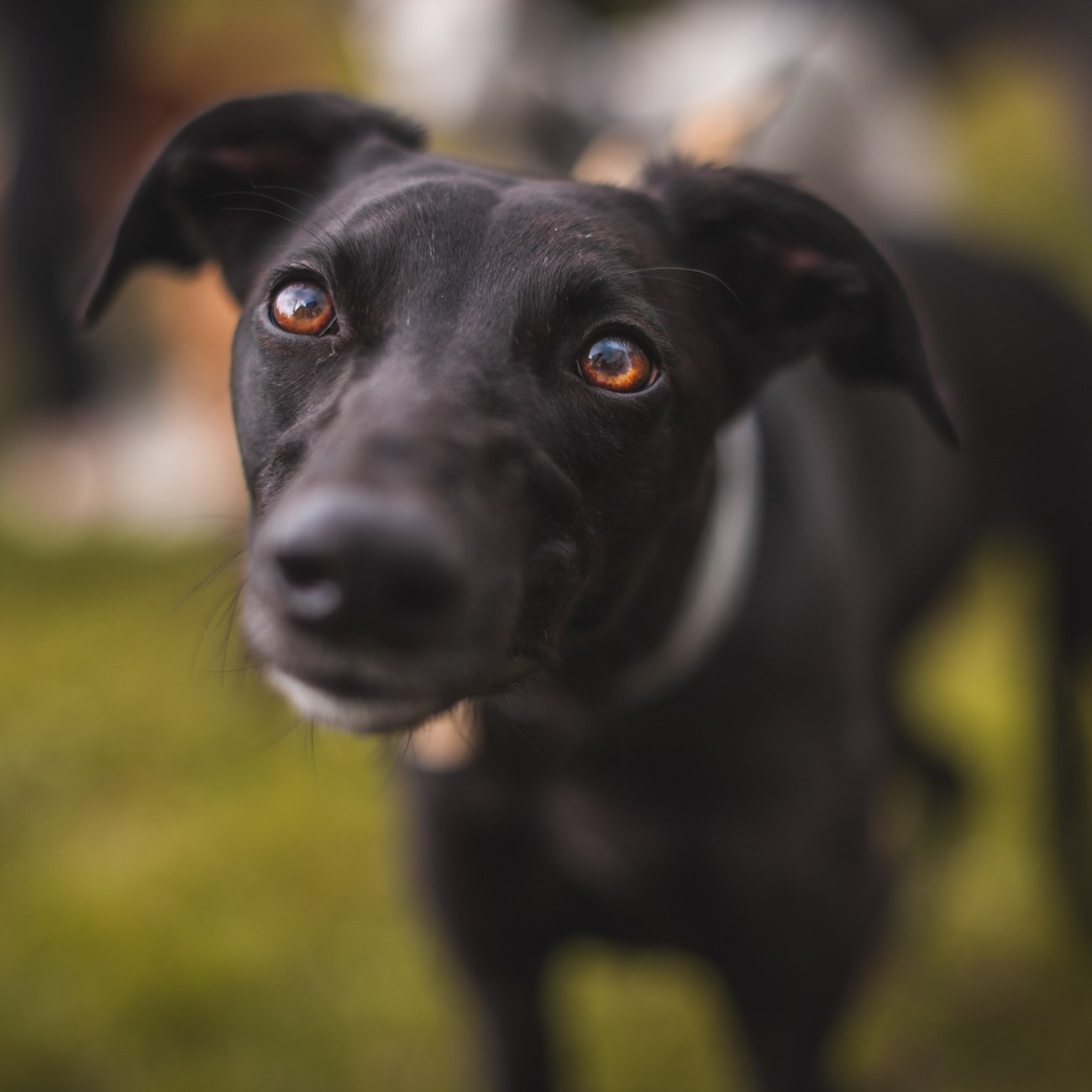 Black whippet cross looking at the camera