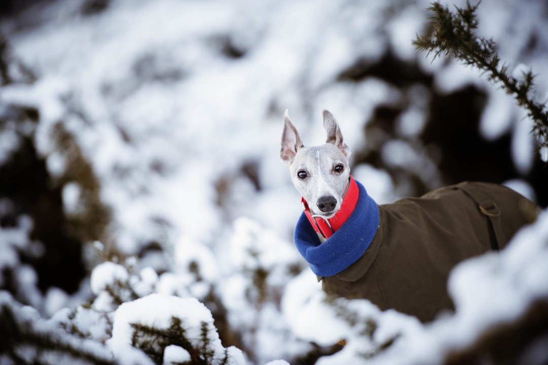 Whippet wearing a wool wax coat with a jumper peeking out from behind snowy bushes.