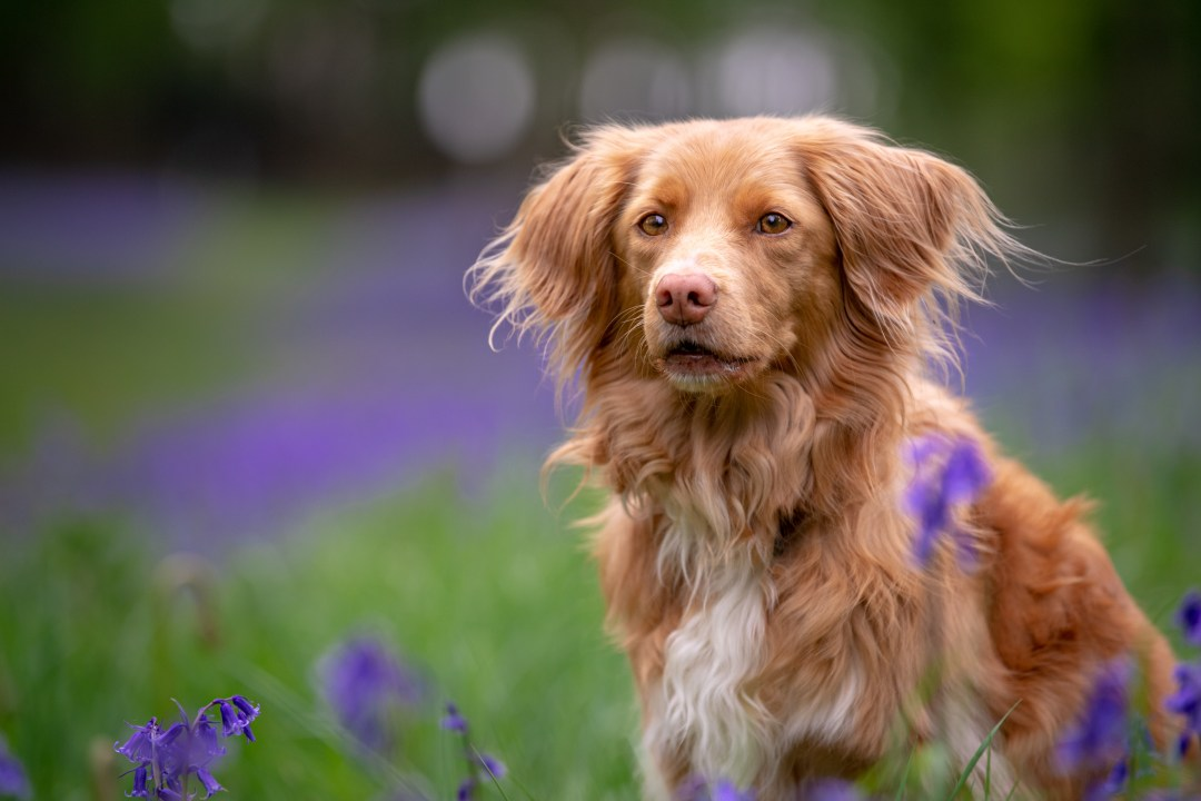 Duck Toller in the bluebells.