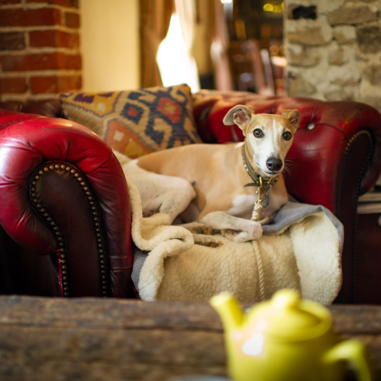Whippet sat on a cosy chair in a dog friendly bar