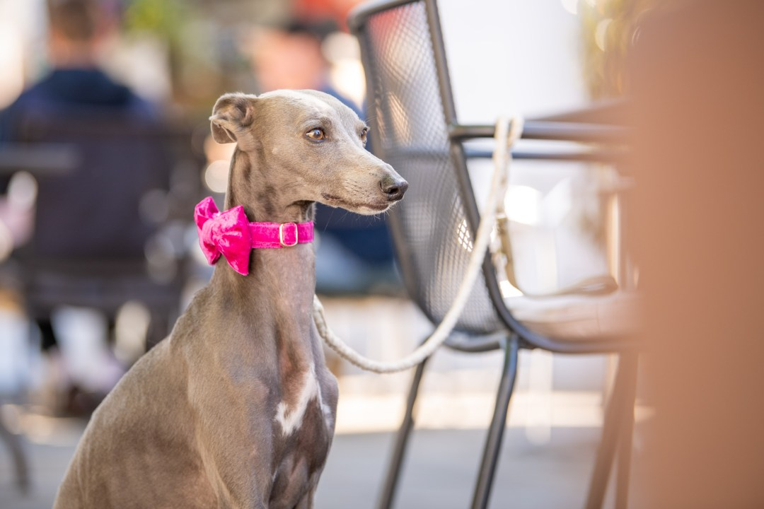 Blue whippet in a pink bow tie outside a cafe