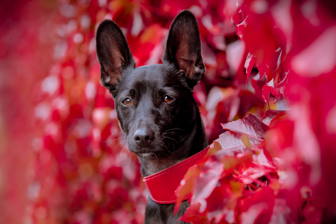 Coated Xolo dog peaking out from red ivy.