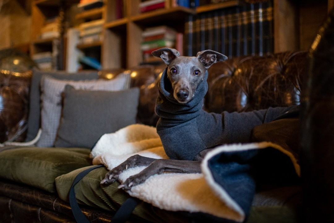 Blue whippet in dog friendly bar and pub in ticehurst east sussex