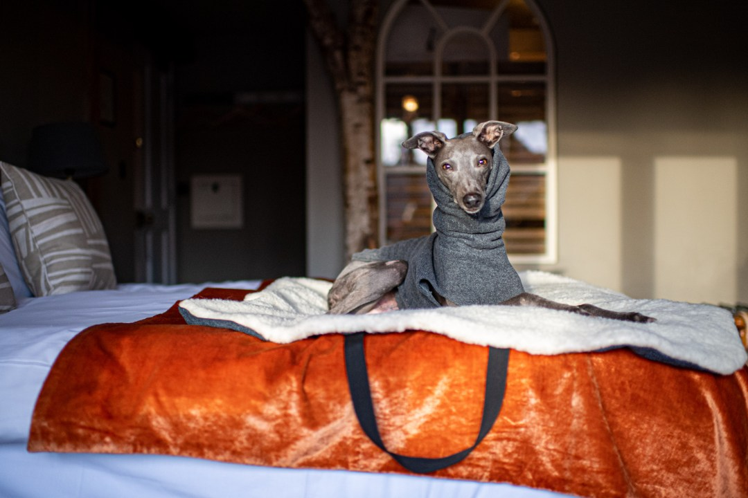 Blue whippet on a hotel bed in a dog friendly location