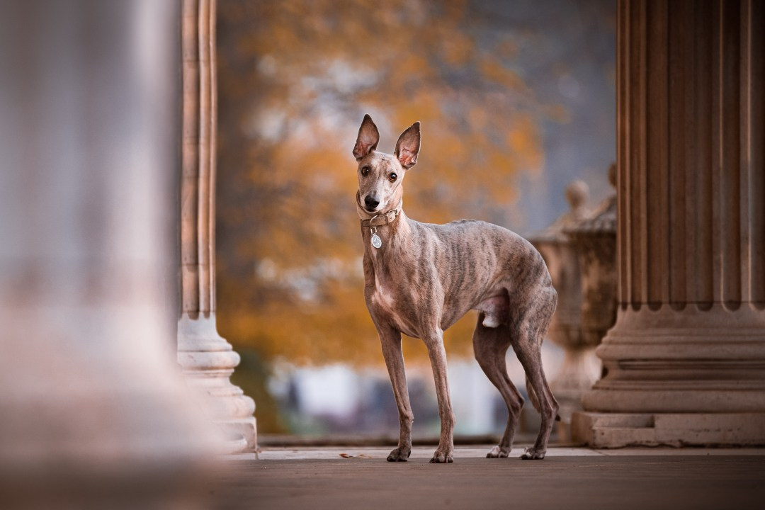 Whippet posing inbetween columns at Chiswick house.