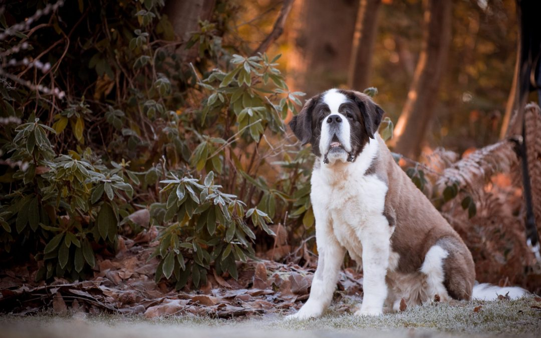 Golden Oldie St Bernard Photoshoot
