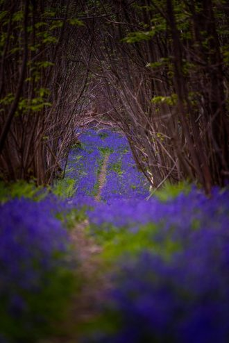 Bluebells in the UK