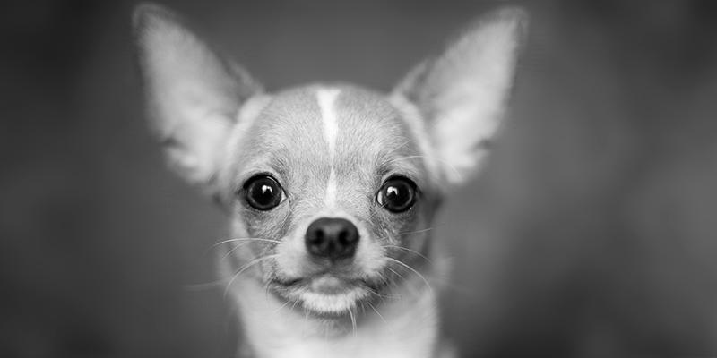micro ma grandi cani banner