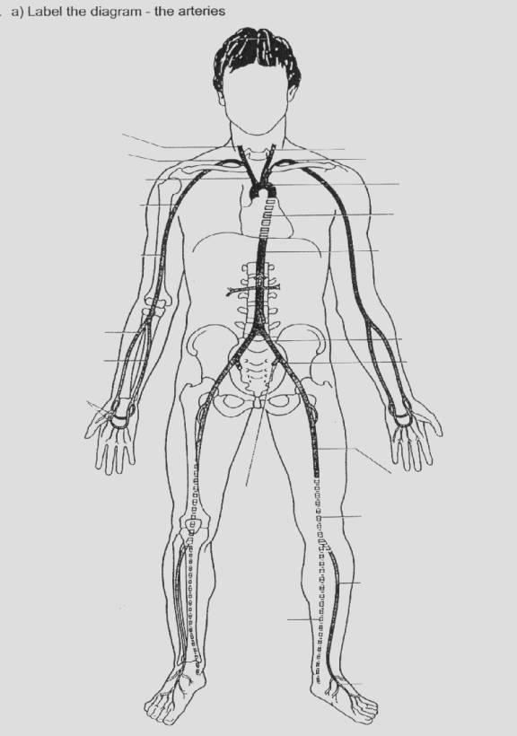 Diagram Of Arteries Veins And Capillaries