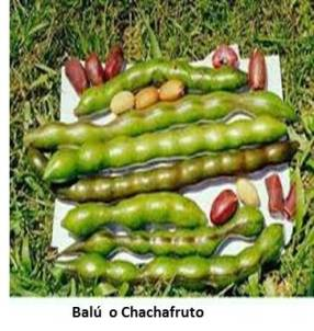 Balú o Chachafruto