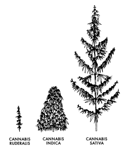 three main types of hemp plants