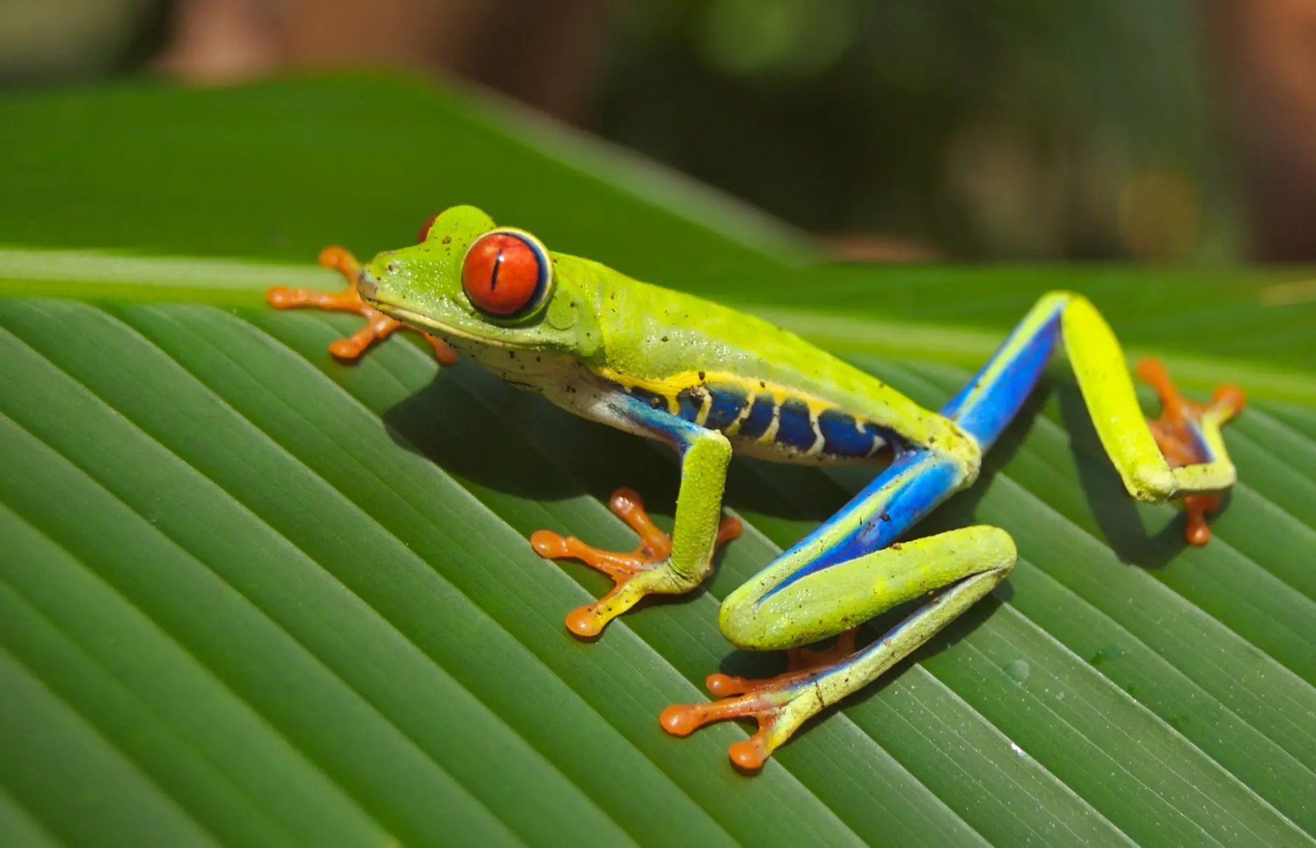 green blue yellow and orange frog on green leaf