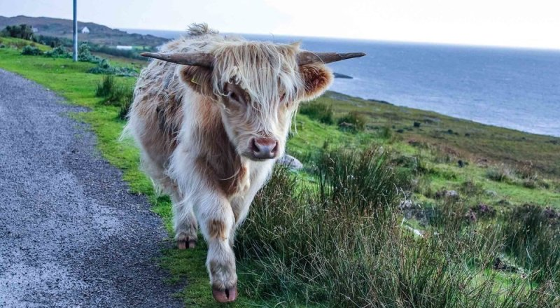 hairy-cow