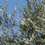 Alzheimer, anche le foglie d'ulivo sono preziose contro la malattia.