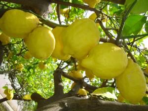 limoni sicilia 1