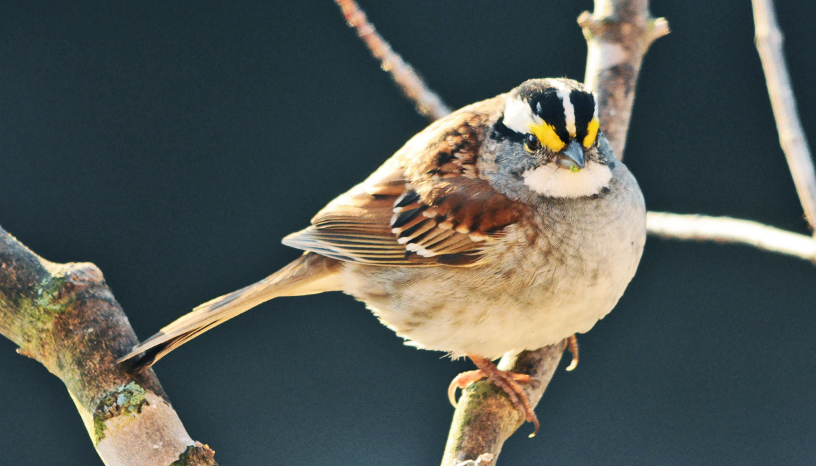 Why sparrow morphs differ as parents and fighters  Futurity