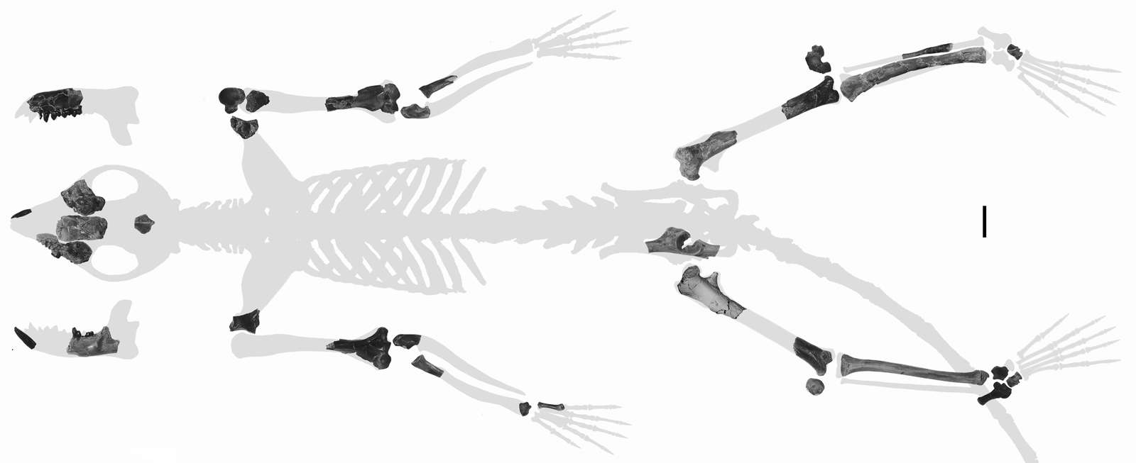 'Scrappy' skeleton hints earliest primates hung out in